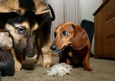 """""""Don't even think about touching my toy."""" We all know the #dachshund is always the boss! ^_~ via Flickr."""