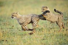 Cheetah cubs chasing and tripping at dawn the Masai Mara, Kenya by award winning wildlife photographer & Oryx Expeditions tour guide Elliott Neep. Check out his sites to find out more about him & his work,bag yourself some stunning wildlife prints & to join one of his trips.
