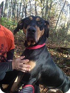 Media, PA - Hound (Unknown Type) Mix. Meet Fletcher, a dog for adoption. http://www.adoptapet.com/pet/16864704-media-pennsylvania-hound-unknown-type-mix