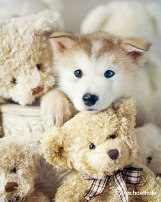 Siberian Husky Puppy and Friends