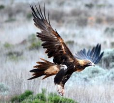 Frank Smith - Google+ - Wedge tail eagles were once common around the area I was…