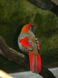 Red-tailed Laughingthrush (Garrulax milnei)