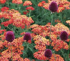 "Achillea & Allium Collection - Red Highlights - White Flower Farm Quick Facts Common Name: Yarrow, Drumstick Allium Hardiness Zone: 5-7 S / 5-9 W Height: 30"" Deer Resistant: Yes Exposure: Full Sun Blooms In: June-Sept Ships as: Bareroot & Potgrown"