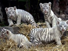 Four white Bengal tigers play at the Buenos Aires zoo.