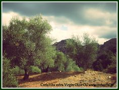 "It's always tempting to do ""just one more tree."" #OliveOil #Crete Island #Greece"