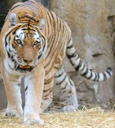 Tiger  Henry Doorly Zoo, Omaha Nebraska