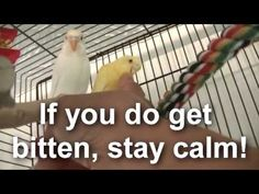 How To Overcome A Budgie Bite - http://www.parrotshop.org/budgie-bite/