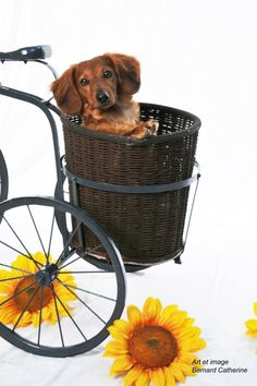 <3 me some Sunflowers (doxies aren't too bad either!)