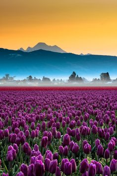 Skagit Valley tulips and Mount Baker, Washington, USA  (by Kevin Hartman on 500px)