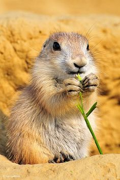 My girls are obsessed with prairie dogs! Squirrel Pictures, Animal Pictures, Cute Creatures, Beautiful Creatures, Texas Animals, Most Beautiful Animals, Prairie Dogs, Mammals, Squirrels