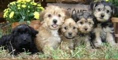 Image result for smooth fox terrier poodle mix