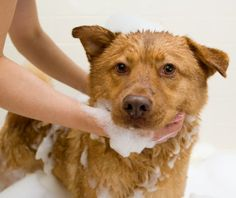 Everyone knows how to bathe a dog, right? But even if you're doing a good job already, Dr. Marty Becker bets that he can give you tips that will make your work easier or last longer. Here are things to try.