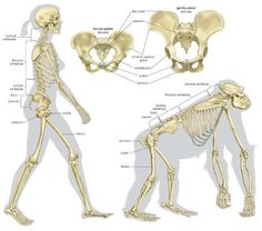 The skeletal structures of a human being and of a gorilla.