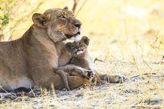 Löwin mit Jungem (1)