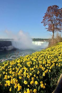 Daffodils and The Falls