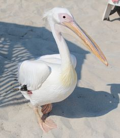 A Great White Pelican at Nissi Beach
