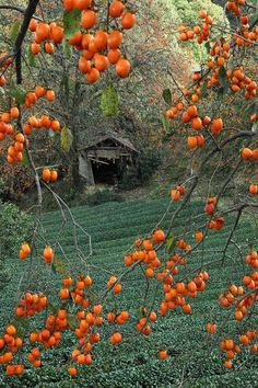 Kyoto - Give me time to think, The Real japan Fruit Persimmon. What A Wonderful World, Beautiful World, Beautiful Places, Belleza Natural, Japanese Culture, Japan Travel, Belle Photo, Wonders Of The World, Mother Nature