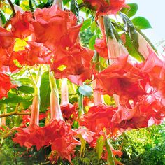 Rare Flowers, Exotic Flowers, Tropical Flowers, Amazing Flowers, Angel Trumpet Plant, Tropical Backyard Landscaping, Florida Flowers, Trumpet Lily, Rose Flower Wallpaper