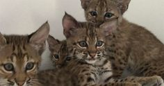 A litter of red lynx kitten as curious and playful as any litter of house cats. I mean, they even look like house kittens...
