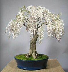 Looks like a white wisteria bonsai. Pretty.