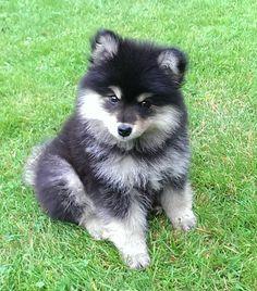Meet Otto, cute fluffy Finnish Lapphund puppy
