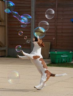 Jack Russell jack russell terrier bubbles play - Who'd love a dog like this? Funny Dogs, Funny Animals, Cute Animals, Animal Fun, I Love Dogs, Cute Dogs, Bubble Dog, Jack Russell Terrier, Jack Terrier