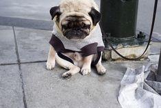 Sad pug in an American Apparel Shirt. Love.