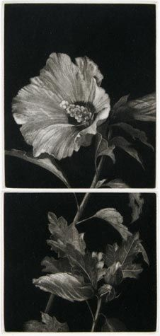 Judith Rothchild. Hibiscus. 2005. Mezzotint.