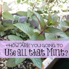 I think having a mint plants in your herb garden are a must. You have to contain mint and refresh your mint patch to keep it growing at peak performance. Organic Gardening, Gardening Tips, Container Gardening, Herb Container, Urban Gardening, Indoor Gardening, Mint Recipes, Herb Recipes, Healing Herbs