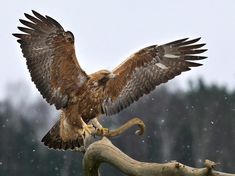 Golden Eagle (Aquila chrysaetos) Male of Golden Eagle in 11th CY. | the Internet Bird Collection | HBW Alive