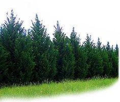 Cupressus Leylandii Leightons Green Cypress Conifer