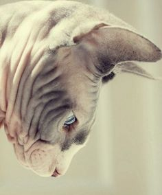 A Sphynx Cat is the most gentle, beautiful, hypnotic and unique creature. I love them.