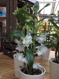 Dendrobium nobile Orchidee