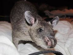Abbey my gambian pouched Rat says hello