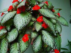 Episkiya, yeşil yapraklarının arasında açan çiçekleri ile salonlarımızı süsleyen bitkidir. Episkiya(Episcia Cupreata), gesnergillerden bir bitkid...