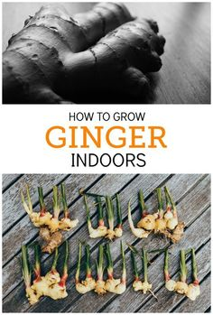 Ginger is the perfect herb to grow indoors. It‰Ûªs very low-maintenance, loves partial sunlight, and you can use parts of it at a time, leaving the rest in the soil to continue growing. Indoor Vegetable Gardening, Veg Garden, Edible Garden, Organic Gardening, Gardening Tips, Inside Garden, Gardening Supplies, Kitchen Gardening, Gardening Vegetables