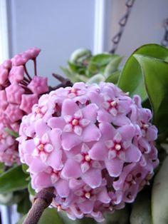 Blüte der Wachsblume