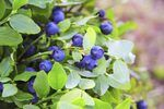 Phoenix, the capital of Arizona, is situated in the Sonoran Desert. Growing blueberries in Phoenix can be tricky because of its hot, dry climate. However, several steps can help you to grow fully ripened fruits that carry a sweet taste and aroma not easily found in a grocery store. Even in a desert environment such as Phoenix, blueberry plants can...