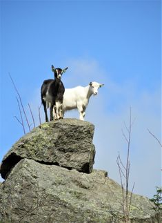 Nice goat Norway, Goats, Nice, Photos, Travel, Animals, Pictures, Viajes, Animales