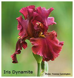 Google Image Result for http://www.flower-gardening-made-easy.com/image-files/iris-dynamite.jpg