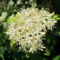 Cornus sanguinea - Cornouiller - Plante 60/90 cm En Racine Nue  http://www.plantes-et-arbres.com/cornus-sanguinea---cornouiller---plante-6090-cm-en-racine-nue-1460-p.asp