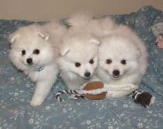 Miniature American Eskimo Dogs must be white or biscuit cream--any other colour is unacceptable.