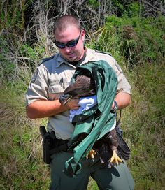On March 17, a young female eagle fell approximately 60 feet after being forced out of the nest by another sibling. FWC Officer Thurkettle arrived on scene and used his jacket cover the eaglet to prevent the bird from further injury. (This also protected Officer Thurkettle from the bird!) The eaglet was taken to the Audubon Center for birds of prey in Maitland where she remained until her release back into the wild. Photo by RJ Wiley