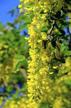 Kultasade, Laburnum alpinum http://www.viherpiha.fi/pensaat-ja-puut/puu-joka-pihalle-kultasade