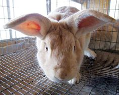 Rabbit: A Great Meat Animal for Small Homesteads. Rabbits breed & grow so quickly that 1 pair of healthy does (females) can produce more than 600 pounds of meat in a year.