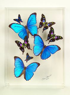 Hey, I found this really awesome Etsy listing at https://www.etsy.com/listing/102565240/9-x-12-x-3-deep-blue-morpho-design