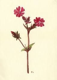 Image result for artists images of campion flowers