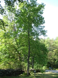 north american tree - Google Search