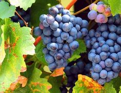 Travelguide Neusiedler See - Falstaff Travelguide Fruit, Red Wine, Autumn