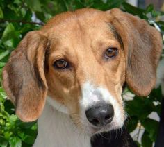 Bubbly is a 2 1/2 year old male Walker Tree Hound. His name fits his personality and bubbly will need an active person in his life.